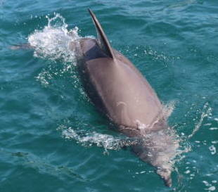 野生のイルカが石川県の海に自生?!石川県七尾市の最北のイルカを紹介
